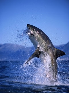great white shark wallpaper