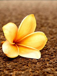 This Flower Mobile Wallpaper Is Compatible For Nokia Samsung Htc Imate LG Sony Ericsson Phones
