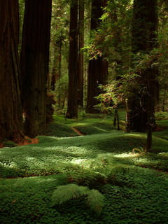 Avenue of the Giants, Humboldt County, California_resize