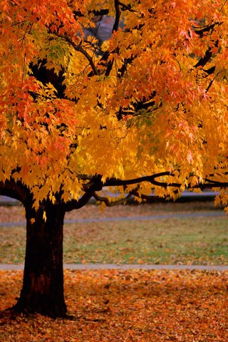 download orange autumn trees iphone wallpaper mobile