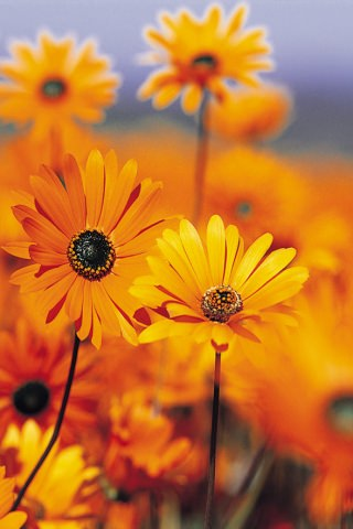This Yellow Flowers Iphone Wallpaper Is Compatible For IPhone 3G S 4G 4 4srate It If U Like My Upload