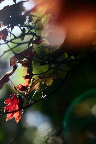 Red-Maple-Leaves-iphone-wallpaper-ilikewallpaper_com